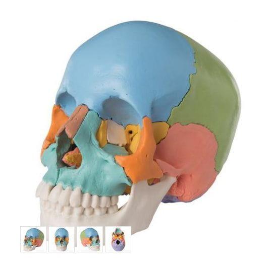 Crani desmontable - versió didàctica