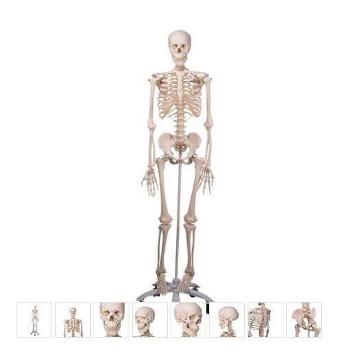 Esqueleto Stan A10 sobre pie metálico con 5 ruedas