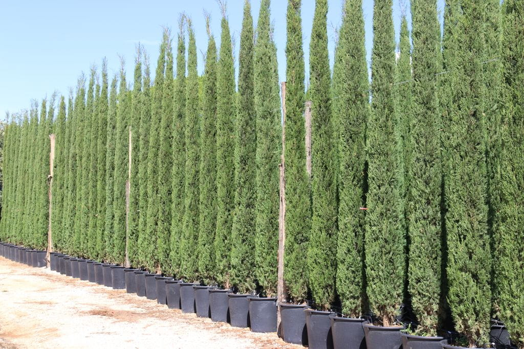 cupressus sempervirens 39 stricta 39. Black Bedroom Furniture Sets. Home Design Ideas