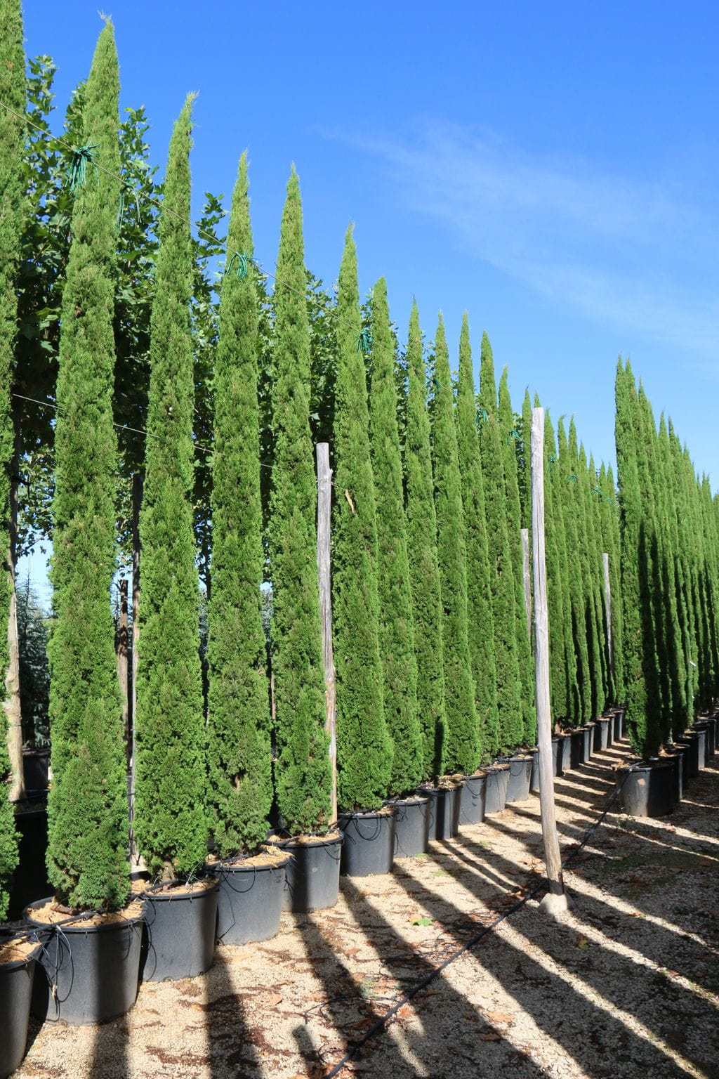 cupressus sempervirens 39 totem 39. Black Bedroom Furniture Sets. Home Design Ideas