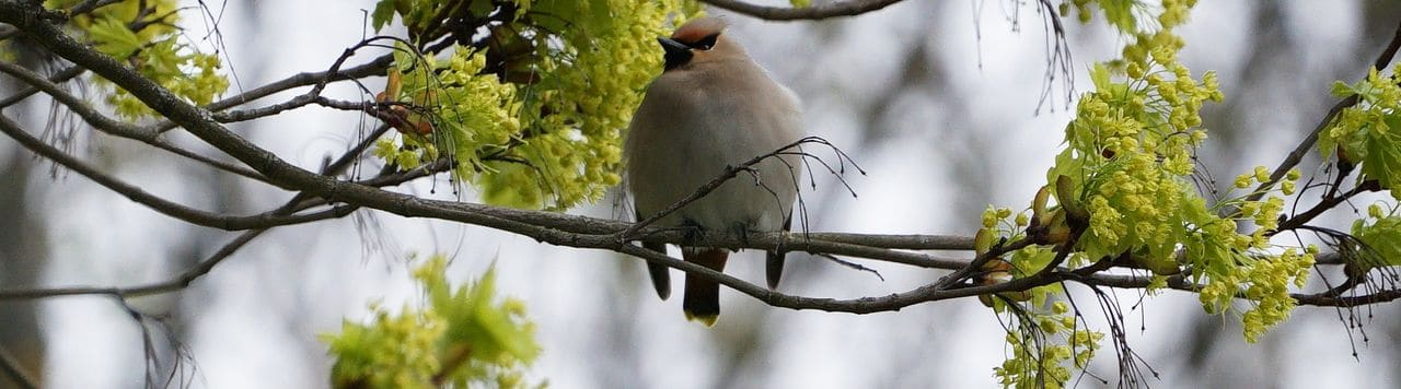 Ocell sedós. Foto Núria Ferrer (Estonia 2019)