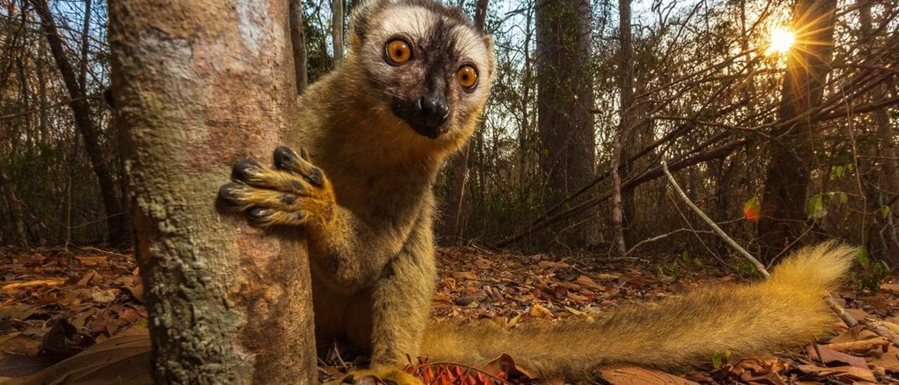 Lemur Pardo