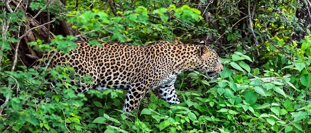 Lleopard Al Parc Nacional de Yala