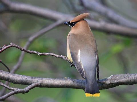 Ocell sedós
