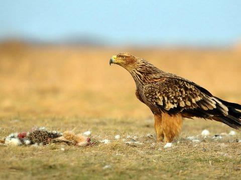 Aguila imperial oriental