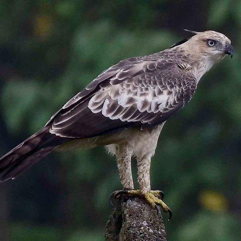 Aguila astor de l'India (Nisaetus cirrhatus)