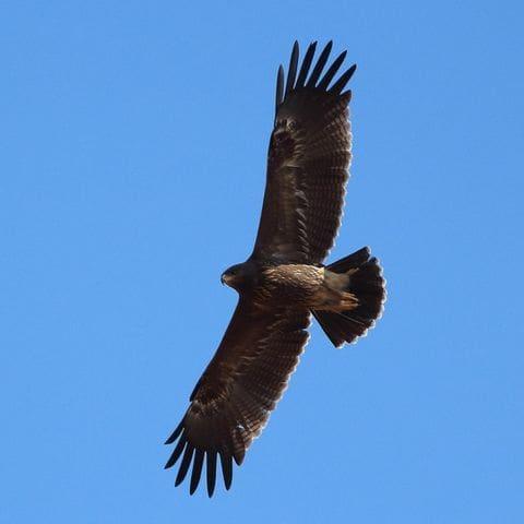 Águila pomerana