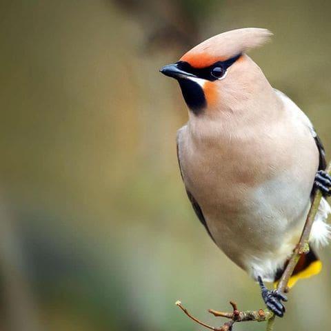 Ocell sedós (Bombicilla garrulus)