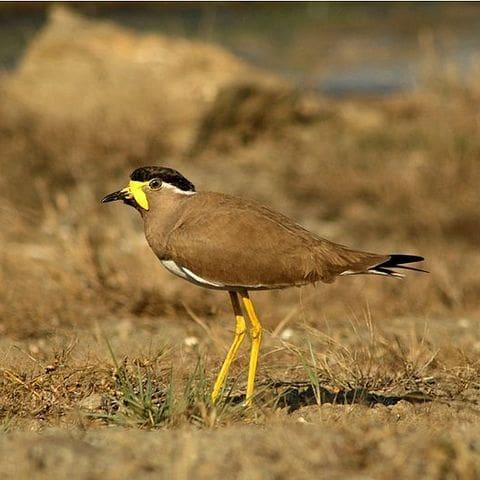 Avefria malabar (Vanellus malabaricus)