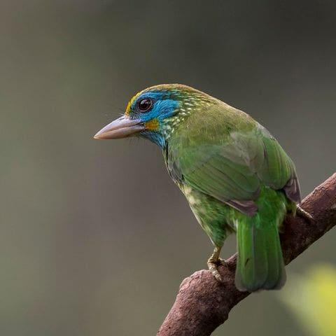 Barbut verd frontgroc (Psilopogon flavifrons)