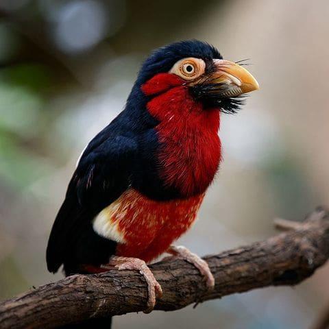 Barbut de pit vermell (Lybius dubius)
