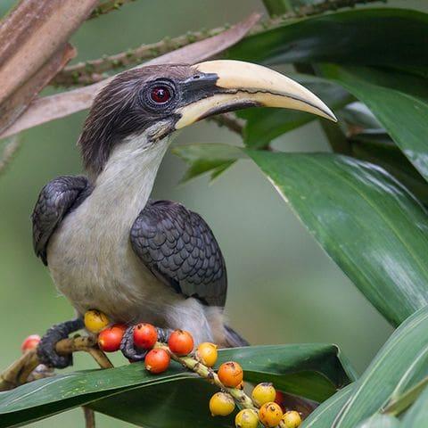 Calao gris de Sri Lanka (Ocyceros gingalensis)