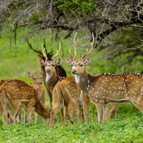 Chitales en el Parque Nacional de Minneriya