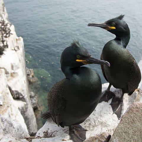 Cormoranes moñudos