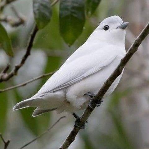 Cotinga níveo  (Carpodectes nitidus)