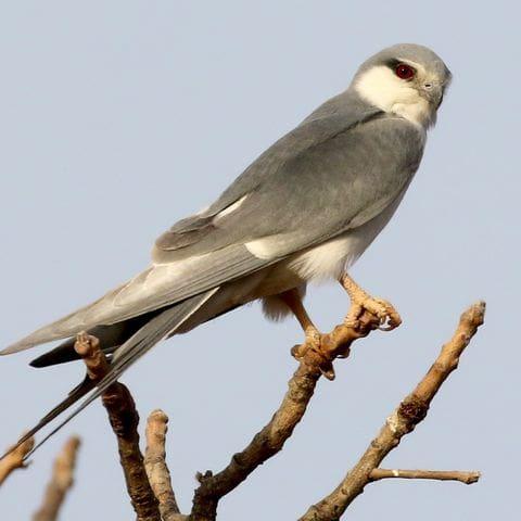 Elani cua forcada (Chelictinia riocourii )