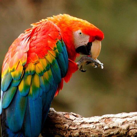 Guacamai roig d'ales grogues  (Ara macao)