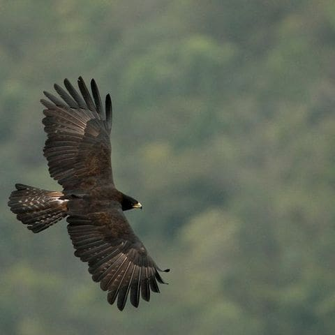 Àguila negre (Ictinaetus malayensis)