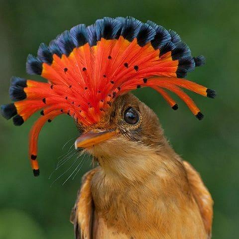 Cabdill reial (Onychorhynchus coronatus)