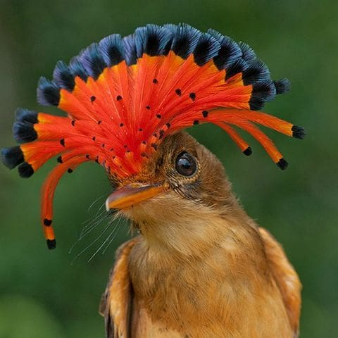 Mosquero real (Onychorhynchus coronatus)