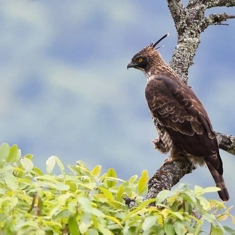 águila azor montañesa (Nisaetus nipalensis)
