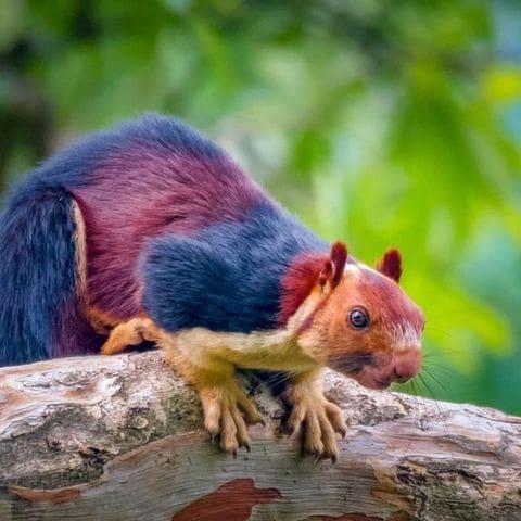 Esquirol gegant de l'India (Ratufa indica)
