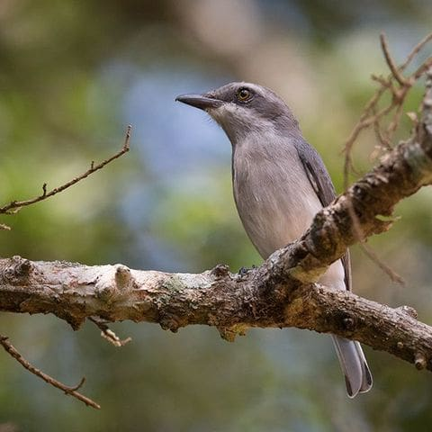 Ceniciento de Ceilán (Tephrodornis affinis)