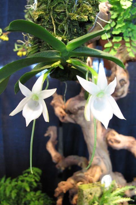 Orquidea Angraecum compactum endemismo