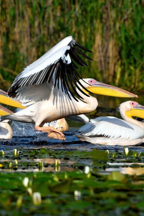 Pelícanos del Delta del danubio