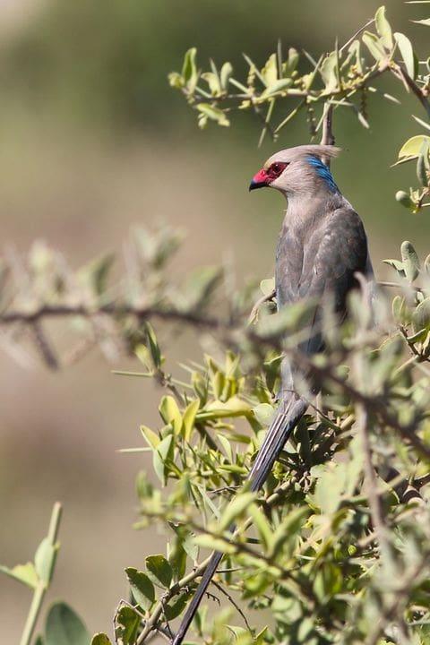 Ocell ratolí de clatell blau (Urocolius macrourus)