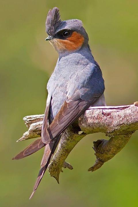 Vencejo arborícola coronado (Hemiprocne coronata)