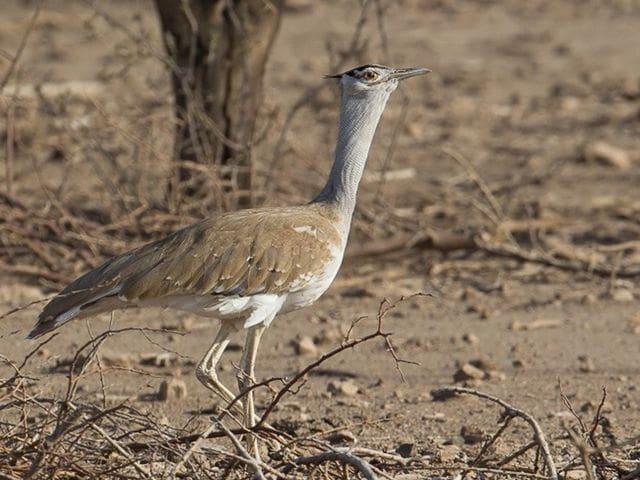 Pioc salvatge del Sahel (Ardeotis arabs)