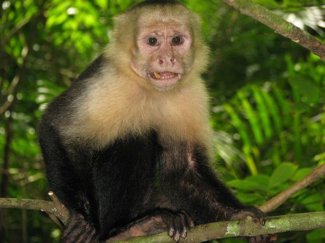 Mono capuchino