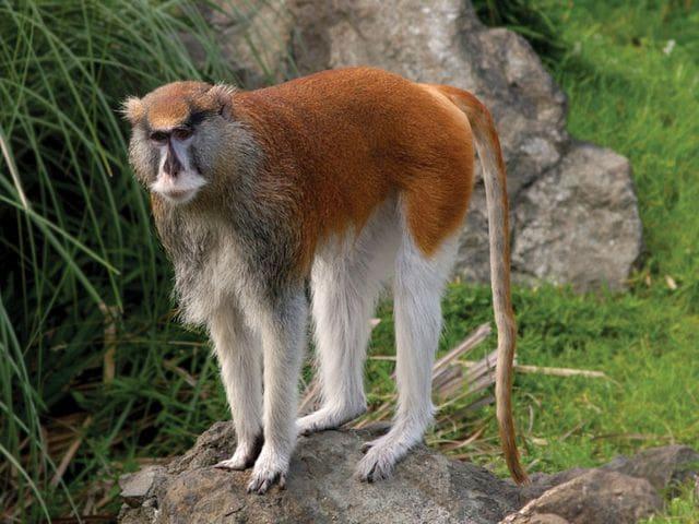 Mono patas  (Erythrocebus patas)