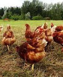 huevos-y-gallinas.jpeg