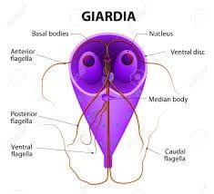 Giardia bine apă. Infectia cu giardia (giardioza) Ciocolata giardioza