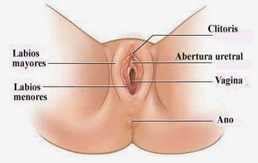 Vulva funcion y ubicacion