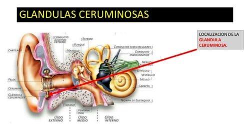GLÁNDULA EXOCRINA (CERUMINOSAS) - Naturopathic