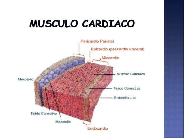 MÚSCULO CARDÍACO - Naturopathic