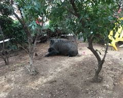 Anaesthesia of urban wild boar II