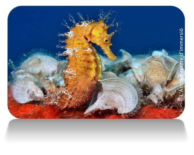 Caballitos de mar en Tossa de mar; Costa Brava
