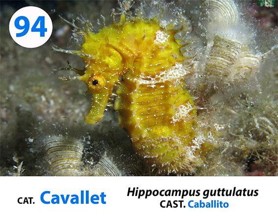 Esta foto es extraída de nuestra panel de identificación de especies de la Costa Brava que dispones en nuestras instalaciones