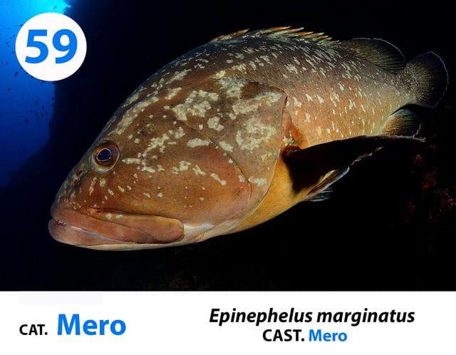 Esta foto es extraída de nuestro panel de identificación de especies de la Costa Brava que puedes encontrar en nuestras instalaciones
