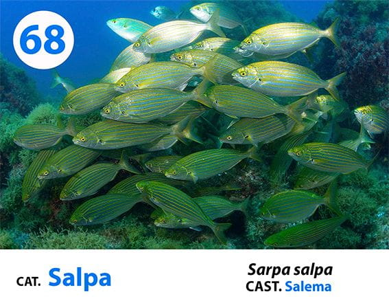 Esta foto es extraída de nuestro panel de identificación de especies de la Costa Brava que dispones en nuestras instalaciones