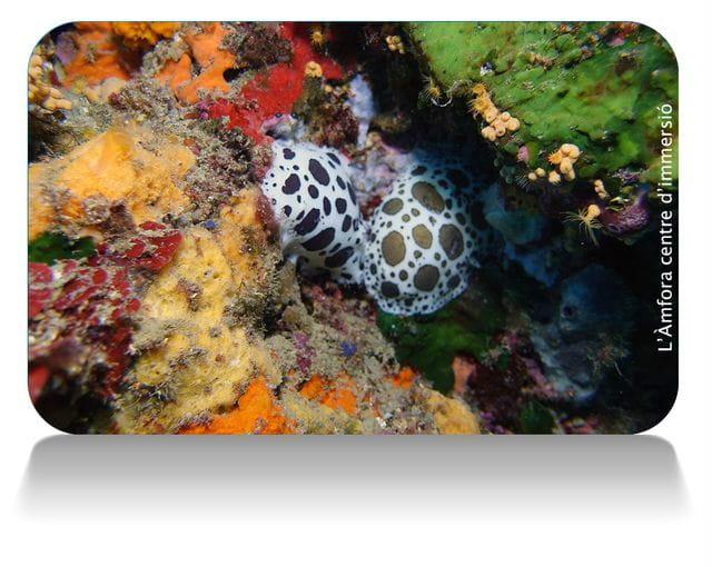 nudibranquios en Tossa de Mar, buceo en Tossa