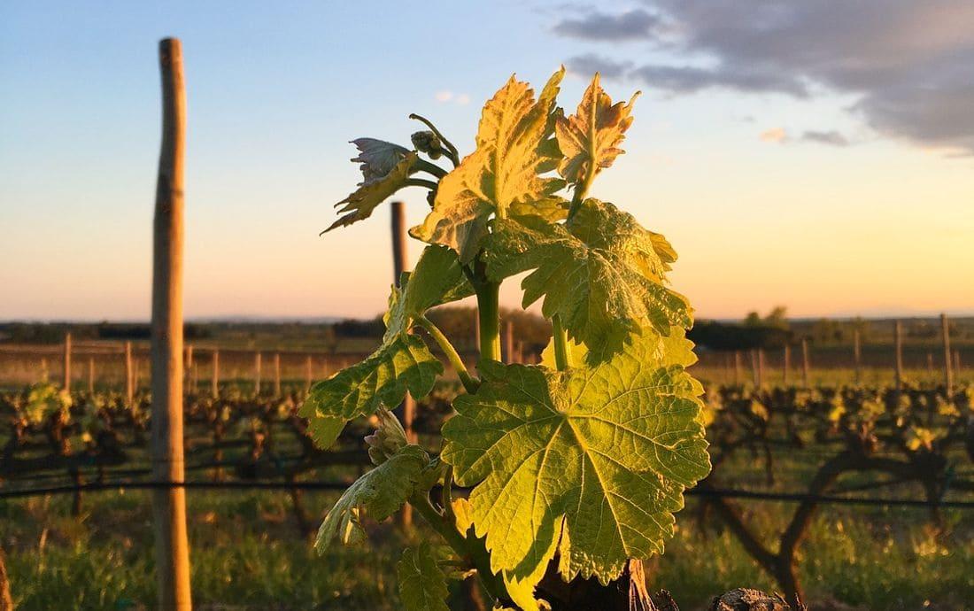 Envoltat de dos Parcs Naturals i situat en un entorn natural únic entre vinyes i oliveres, Vilajuïga brinda l