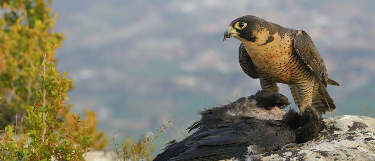 Als penyassegats de La Falconera, hi cercarem cert ocell que dona nom a l'indret (Foto: Jordi Bas)