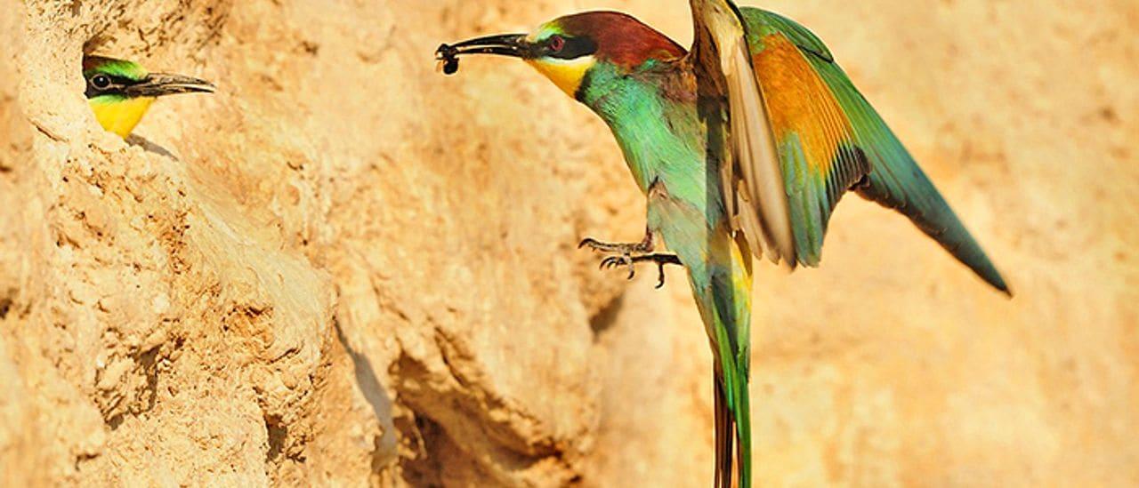 Als secans, l'abundantíssim abellerol és molt fàcil d'observar (Foto: Jordi Bas).
