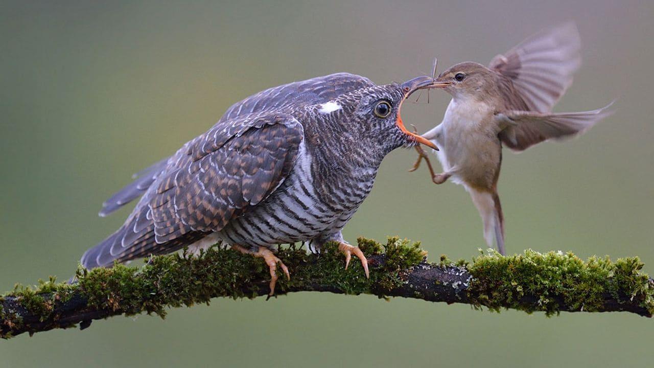 En aquest curs aprendràs les interioritats del parasitisme de nidificació dels cucuts i altres espècies.