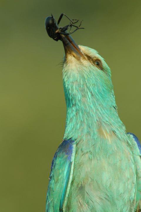 Els insectes grossos són la principal alimentació del gaig blau, un habitual dels secans (Foto: Jordi Bas)